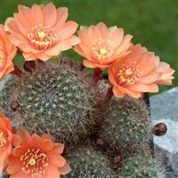 flori  minunate  și  cugetări