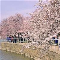 Festivalul cireșilor înfloriți
