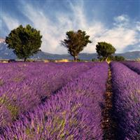 Lawendel aus Provence