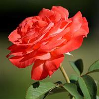 Un trandafir in inima ta.