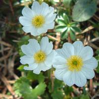Flori alpine din Dolomiti