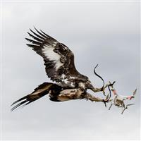 Vulturii mai puternici decât dronele