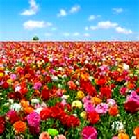 Un covor de flori
