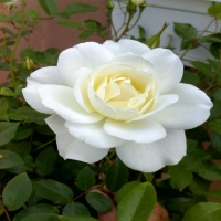 MY WHITE ROSE
