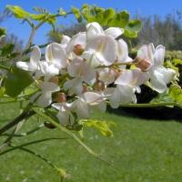 Salcami in floare