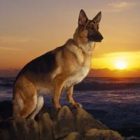Cele mai scumpe rase de câini