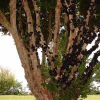 Arborele de struguri