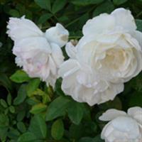 Iran Persian flowers
