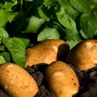 Istoria cartofului
